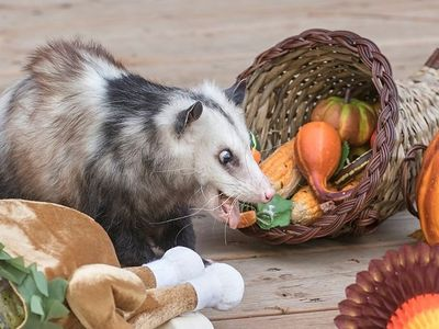 "Watch the denizens of the Woodland Park Zoo go positively bonkers for raw and frozen Thanksgiving treats at Saturday's <a href=""https://www.thestranger.com/events/42041223/turkey-toss"">Turkey Toss</a>."