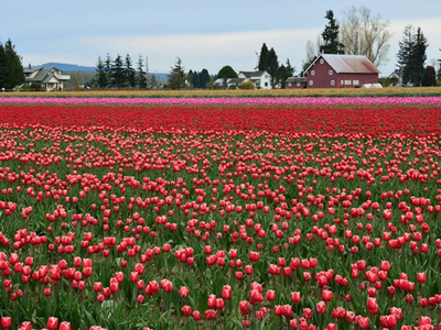 """Drive past rows and rows of these highly Instagramable blooms for the entire month of April at the <a href=""""https://everout.com/seattle/events/skagit-vallet-tulip-festival/e44169/"""">Skagit Valley Tulip Festival</a>."""