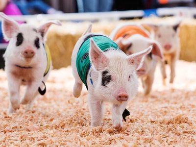 """The <a href=""""https://everout.com/seattle/events/drive-thru-spring-fair/e99353/"""">Washington State Spring Fair</a> has returned, drive-thru style! Cruise to Puyallup to enjoy pig races, a <a href=""""https://everout.com/seattle/events/88th-annual-daffodil-parade/e55603/"""">Daffodil Parade</a>, and more."""
