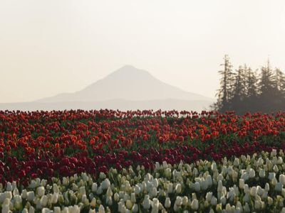 "It's the last weekend to drive down to Woodburn for the <a href=""https://everout.com/portland/events/wooden-shoe-tulip-festival/e42094/"">Wooden Shoe Tulip Festival</a>!"