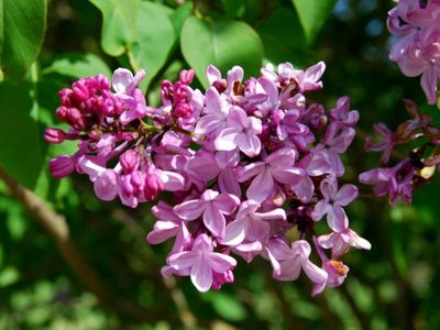 "This weekend is your last chance to take in fragrant blooms at Hulda Klager Lilac Gardens' <a href=""https://everout.com/portland/events/lilac-days/e99723/"">Lilac Days</a>. Bring your mom!"